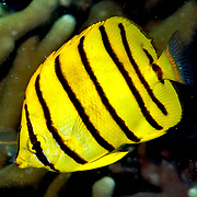 Eight Banded Butterflyfish inhabit reefs. Picture taken Palau.
