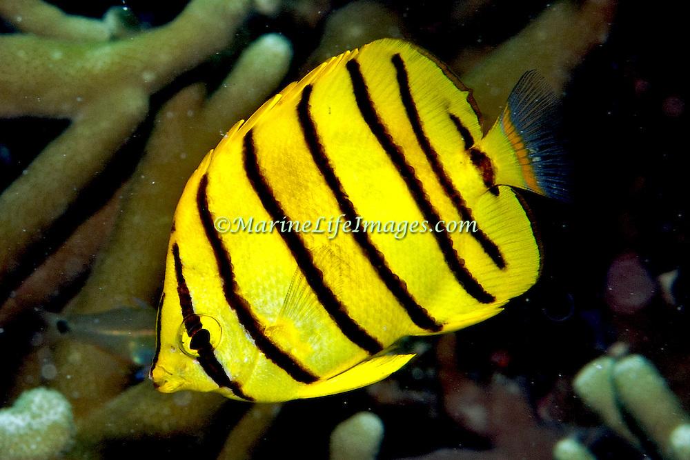 Eight Banded Butterflyfish inhabit reefs. Picture taken Palau.