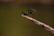 White-banded Swallow (Atticora fasciata)<br /> Rainforest<br /> Rewa River<br /> Iwokrama Reserve<br /> GUYANA. South America<br /> RANGE: Bolivia, Brazil, Colombia, Ecuador, French Guiana, Guyana, Peru, Suriname, and Venezuela.