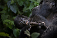 Playful baby Gorilla showcases cheeky personality traits while in the comfort and protection of Mama in Bwindi, Uganda.