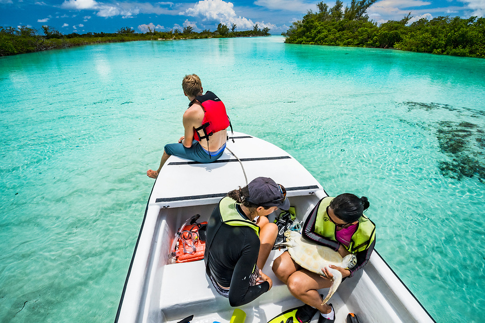 Scientists from the Cape Eleuthera Institute catch a green sea turtle (Chelonia mydas), take samples, tag and release her. The long-term study is to determine best practices for turtle conservation.