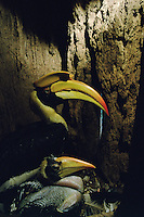 Great Hornbill (Buceros bicornis) female inside her nest cavity in a hollow tree, with chick.   IUCN Red List: Near Threatened.