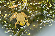 A newly morphed juvenile American bullfrog (Lithobates catesbeianus). Oregon.