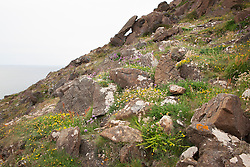 Wildflowers growing on cliffs at The Lizard Peninsula, Cornwall