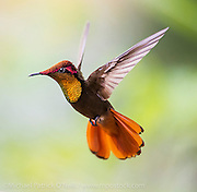 Male  Ruby Topaz Hummingbird, Chrysolampis mosquitus, photographed in  Trinidad. Image available as a premium quality aluminum print ready to hang.