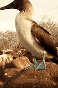 A blue-footed booby (Sula nebouxii) on North Seymour Island, Galapagos Archipelago - Ecuador.