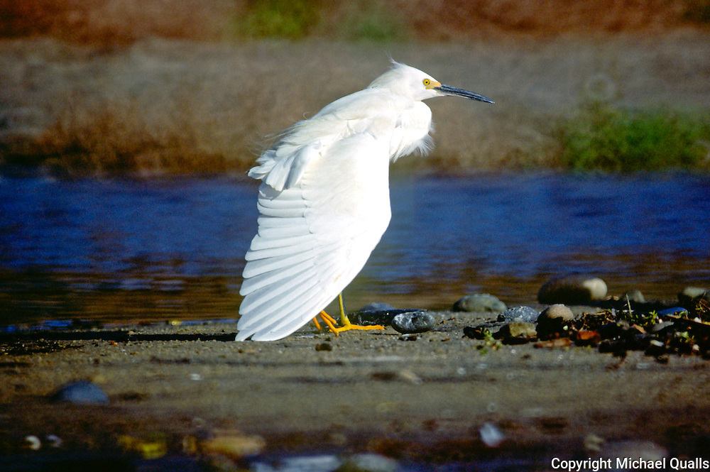 Snowy egret on a shore at Los Penasquitos Marsh.