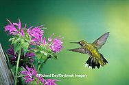 01162-06009 Ruby-throated Hummingbird (Archilochus colubris) female at Bee Balm (Monarda sp.) Shelby Co. IL