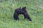 Grizzly bear spring cubs play in a field of dandelions along the banks of Lake Louise in Banff National Park in Alberta, Canada.