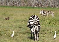 Adult and juvenile Grant's Zebras, Equus quagga boehmi, with Cattle Egrets, Bubulcus ibis, and Olive Baboon, Papio anubis, in Lake Nakuru National Park, Kenya