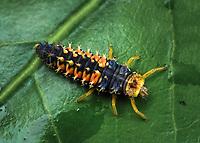 Lady bug larva - Coccinellidae . Photographed in Lady Lake, Florida USA on a camilia bush.