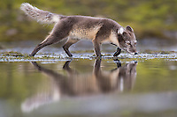 Arctic Fox, Vulpes lagopus, searching for food near the water on Spitsbergen, Svalbard, Norway.