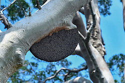 Wild bees nest is pictured in Danum Valley Conservation Area, on August 5, 2019 near Lahad Datu city, State of Sabah, North of Borneo Island, Malaysia. Palm oil plantations are cutting down primary and secondary forests vital as habitat for wildlife including the critically endangered Wild bees. Photo by Emy/ABACAPRESS.COM