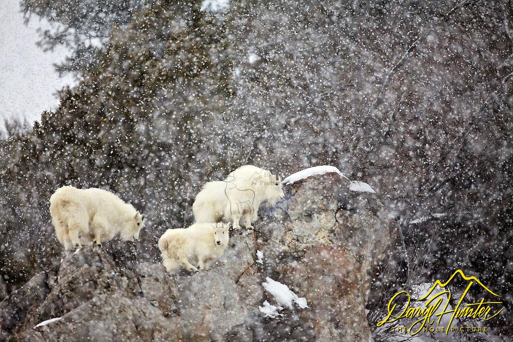 Mountain Goats, Snowstorm, Snake River Range, Alpine, Wyoming, cliff, snow, winter