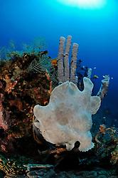 Antennariun commerson, Riesen Anglerfisch, Giant frogfish, Bali, Seraya Secret, Indonesien, Indopazifik, Bali, Indonesia Asien, Indo-Pacific Ocean, Asia