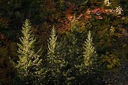 Sidelit autumn Vine Maple (Acer circinatum paint a steep slope along with Noble Fir (Abies procera) in Stevens Canyon, Mount Rainier National Park, Washington, USA