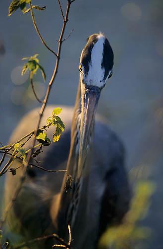 Great Blue Heron (Ardea herodias) hunting in Florida.