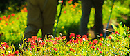 Hikers passing Indian Paintbrush on the trail in the Scapegoat Wilderness