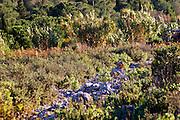 La Clape. Languedoc. Domaine Mas du Soleilla. Garrigue undergrowth vegetation with bushes and herbs. France. Europe.