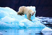 A polar bear on the top of an iceberg on the east coast of Greenland,Scoresby Sound, East Greenland