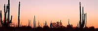 Panoramic of cacti silhouettes at dawn, Baja