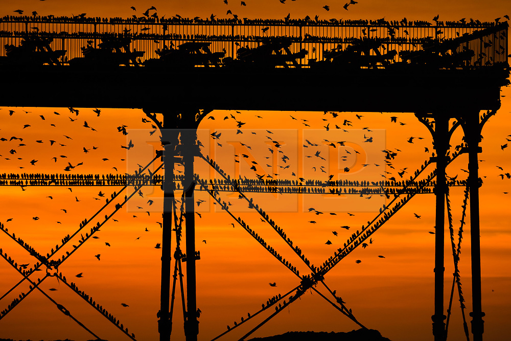 © Licensed to London News Pictures. 18/12/2017. Aberystwyth, Wales, UK.  As the sun sets in a dramatic flaming red sky on a bright cold December evening in Aberystwyth, Wales tens of thousands of starlings descend to settle in chattering masses on the cast iron legs of the town's Victorian era seaside pier. The birds huddle tightly together for warmth, safety and overnight companionship on the forest of girders and beams under the floors of the pier. Photo credit: Keith Morris/LNP