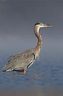 Great Blue Heron - Ardea herodias - Adult non-breeding