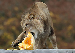 A lion crushes a carved pumpkin at Blair Drummond Safari Park. The pumpkins carved by design students from nearby Forth Valley College and have been filled with enrichments.