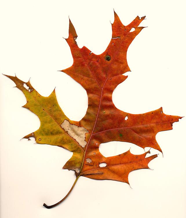 Fall leaf southeastern Ohio, oak