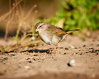 Olive Sparrow (Arremonops rufivirgatus). Campos Viejos, Texas. Image taken with a Nikon D800 camera and 400 mm f/2.8 lens.