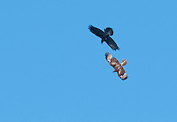 Common raven, Corvus corax, harasses a juvenile red-tailed hawk, Buteo jamaicensis, over Hunter Mountain in the Cottonwood Mountains of Death Valley National Park, California