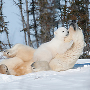 Polar bear (Ursus maritimus) mother and cub of the western Hudson Bay population recently out of the den. Manitoba, Canada