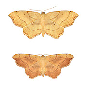 70.015 (1712)<br /> Small Scallop - Idaea emarginata