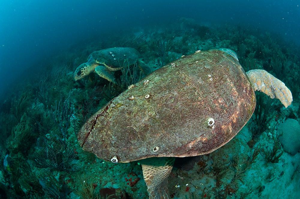 A pair of female Loggerhead Sea Turtles, Caretta caretta, swim over the Breakers Reef in Palm Beach County, Florida, United States.