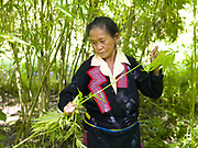 A Hmong woman wearing her traditional clothing strips the leaves off the hemp plant as she is harvesting, Ban Long Kuang, Houaphan, Lao PDR. Making hemp fabric is a long and laborious process; the end result is a strong durable cloth with qualities similar to linen which the Hmong women use to make their traditional clothing. In Lao PDR, hemp is now only cultivated in remote mountainous areas of the north.