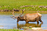 Grazing Elk in Yellowstone National Park, Wyoming