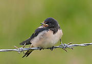 Juvenile Barn swallow, Hirundo rustica, on barbed wire in Northumberland, UK