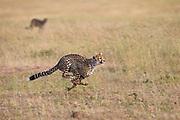 Pair of cheetah siblings (Acinonyx jubatus) running during a hunt, Masai Mara, Kenya
