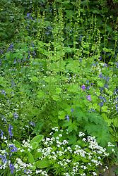 Tellima grandiflora, sweet woodruff, geraniums and bluebells in the woodland garden at Glebe Cottage. Galium odoratum syn. Asperula odorata