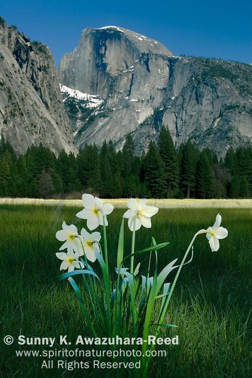 Half Dome, Daffodil Flowers, Ahwahnee Meadow