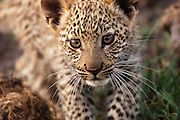 Botswana December 2003: Close up of a juvenile male leopard (Panthera pardus) in the Okavango Delta, Botswana.