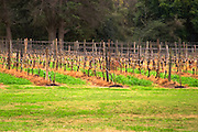 The vineyard with vines trained in Guyot simple on metal wires. Bodega Vinos Finos H Stagnari Winery, La Puebla, La Paz, Canelones, Montevideo, Uruguay, South America