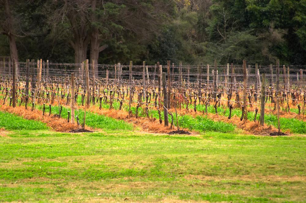 The vineyard with vines trained in Guyot simple on metal wires. Bodega Vinos Finos H Stagnari Winery, La Puebla, La Paz, Canelones, Montevideo, Uruguay, South America