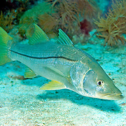 Common Snook inhabit shallow water areas, often near mangroves, in Tropical West Atlantic, especially along continental coastlines; picture taken Key Largo, FL.