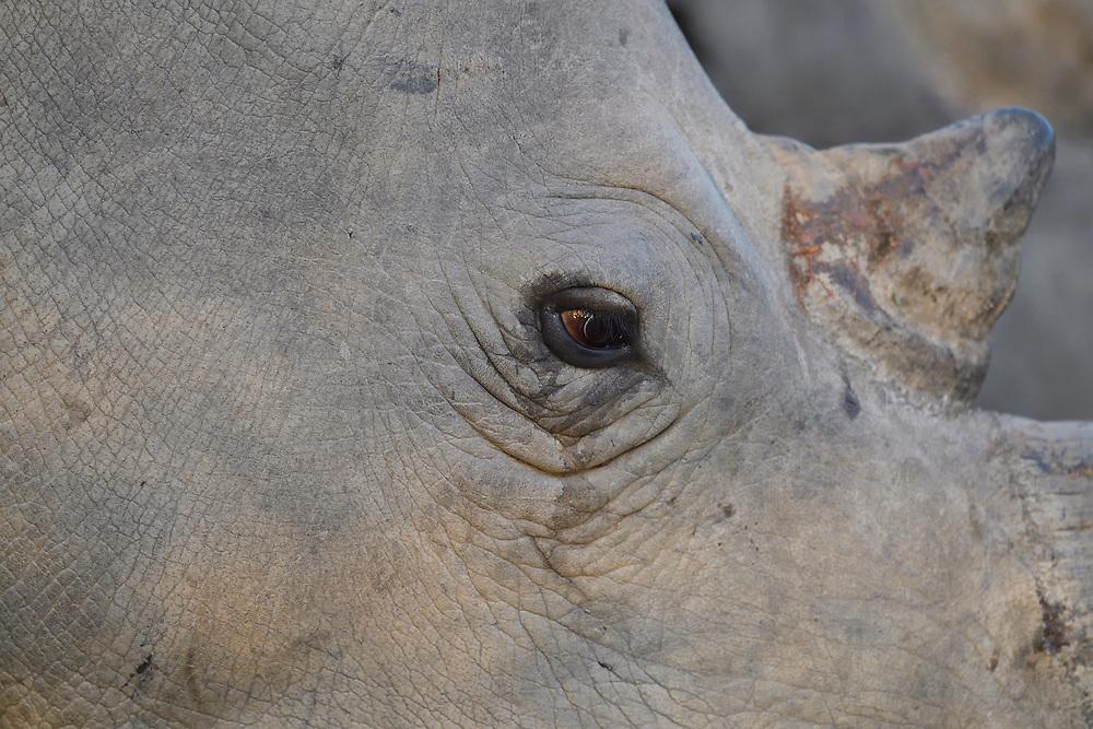 White Rhinoceros, Ceratothorium simum, Marataba Private Reserve, Marakele National Park, Limpopo, South Africa