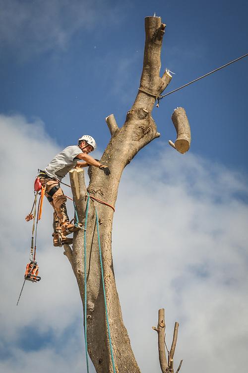 Kauai Tree Care employee cuts the top of a tree in Hanapepe, Kauai, Hawaii.