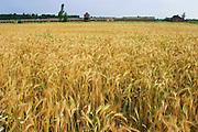 Birkenau Death Camp, Poland, summer wheat.