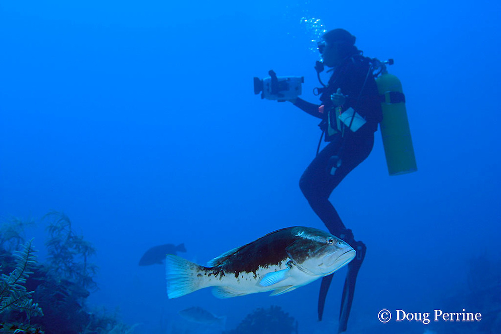 Belize Audubon Society biologist Kirah Forman films spawning aggregation of Nassau groupers, Epinephelus striatus ( Endangered Species ); male in bicolor phase in foreground, Lighthouse Reef Atoll, Belize, Central America ( Caribbean Sea )