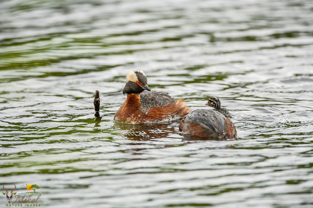 Horned Grebes with chick