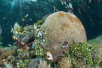 A large Brain Coral grows happily under Mangrove roots<br /> <br /> Shot in Indonesia